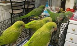 Hi! I have 6 Handfed Baby Quakers... Very loveable!!! 2 Green Pallid/IceBlue (AKA) Blue Pallid left and 3 Green Splits. The 2 fathers was a Green/Blue/Ice Blue/Cinn on the green splits.Hard to find mutation colors locally. Only one has DNA certificate.