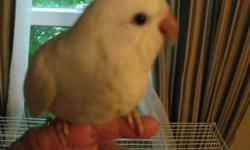 Hi! I have 2 DE White Quaker babies for sale DNA Females. Asking $800.00.00 each. . Handfed and raised with a lot of Love. Weaned on a pellet, with a small amount of Fresh seed with a variety of fruits, vegs, nuts, etc. Also given fresh fruit. Please