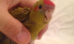 I have 3 2 month old Kakariki babies available. They're all Cinnamon just like their parents. They're super friendly and tame and will make wonderful pets and a great addition to any family! These beautiful birds are sweet and have a fantastic