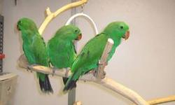 We have 2 amazingly sweet SI Eclectus females weaned and ready to go. They were hatched 10/17/12 and 10/19/12 and are eating pellets, seed amd fresh foods all on their own. Both girls readily step up, enjoy a good snuggle and are very playful. Eclectus
