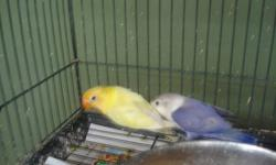 these babies are closed banded and weaned to 6 month old contact for prices they start at $75 to $250 for yellow faces