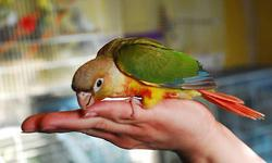 Fully weaned Normal Green Cheek Conure babies (3) Sexes uknown. My prices are FIRM, not asking for offers. Super sweet & affectionate well socialized babies; (262) 751-2767 text for more information I'm located in Milwaukee, WI must pick up.