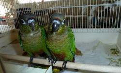 Handfed baby Green Cheek Conures. Newly weaned and ready for their forever homes. Very sweet and fun. Love to be handled and make wonderful companions/pets. $175 each.