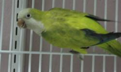 Handfed and very tame 4 month old green quaker with cage,, wings r clipped and comes with food and toys! make a wonderful Christmas present!
