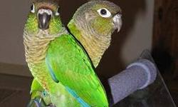We just pulled a clutch of 4 Greencheek Conure babies and are handfeeding. The first is coloring out as a Normal and is available for a deposit. We will take deposits as the babies color out over the next couple weeks. Greencheeks are known as being the