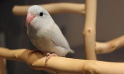 Hello and thank you for looking at our ad! We are a small family owned and operated business that takes pride in producing healthy and friendly birds that make great additions to any family! Parrotlets make great pets since they are relatively quiet and