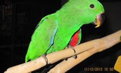 We have a clutch of 3 SI Eclectus boys being handfed. They were hatched the middle of September and we expect them to be ready to go home around the beginning of January. Eclectus are extremely intelligent birds. They are known for being great talkers and