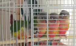 I have 4 yellow sided green cheek conures with a LOT of Red on them that have just been fully weaned. They were handfed and held daily by me and my daughters. Ready for their forever homes. Not dna'd no cage included. $200 each.