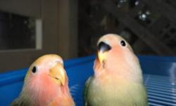 """""""we are not a pet shop"""" handfeeder lovebird $35.00 each 954-283-6772 ---------------------------------------------- """"no somos un pet shop"""" bebes lovebirds $35.00 cada uno 954-283-6772"""