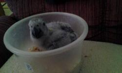 Have handfeeding baby african gray.will pull out of nestbox at 10 days old. parents are congo male and cameroon female.they are on site. only experienced handfeeder. leave a number.