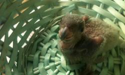 PLEASE only phone calls 414-453-3169, Taking deposits as it will be a while before they weaning. http://www.roxannesbirds.webs.com/