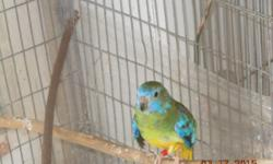 4 handraised scarlet chested (splendid) parakeets will be weaned and ready to go to loving homes soon. Scarlet chested parakeets make wonderful cage companion to all kinds of finches, and handraised ones make delightful, most gentle, quiet, sweet and