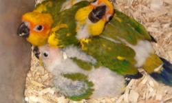 Handraised Sun Conures will be ready by the end of January - beginning February More info and photos on my website http://www.suncitybirds.com Please only contact if serious. Thank You