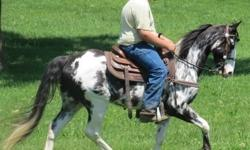 Zephyr is a handsome registered Spotted Saddle gelding. He has a smooth and quick gait, will go anywhere you ask, and is extremely trainable. Zephyr has so much potential because of his gentleman-like temperament and fast learning ability. He has been