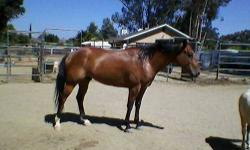 This boy has been a barrel and pole horse and also a Rodeo Queen horse. He also loves Ranch sorting.He is very handsome and 15.3 hands. 17 yrs. old. My Daughter no longer has time to ride and is just sitting in our back yard. I am hoping to find him a