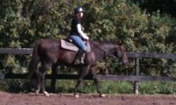 This is a loving horse for a steal of a price, comes with all blankets/an English saddle, English bridle, half pad, saddle pad, brushes, and more. Located in Hilton,NY. Prince is 15.3 hands tall, loves to jump although hasn't been jumped in a year, hasn't
