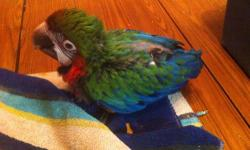This is a tame, baby harlequin macaw still being hand fed. We ask for a $400.00 deposit. We work with all of our customers who want to own one of our baby birds so please feel free to contact us This ad was posted with the eBay Classifieds mobile app.