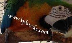 Beautiful 5 year old Harlequin Macaw... She is a very sweet girl. In nice feather. $1,000 Located in South Florida. Will ship weather permitting