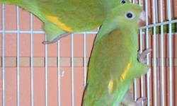Imported.He was a single placed with a breeder.He was in a small cage and very freighted.He damaged his wing tips severly! Other than the wing tips he has beautiful plumage He is not suitable for a pet,gets frightend and tends to hurt wing tips on wire