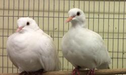 Beautiful healthy doves available at Arrieros Pet Shop visit any of our 2 locations or call: 9531 Jamacha Blvd. SpringValley, Ca 91977 (619)4343207 2550 Imperial Ave. San Diego, Ca 92102 (619)677-3269