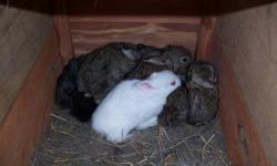 Good healthy Rabbits. All ages , several colors, Tame for pets, or are good eating also. These rabbits are dressing out over 2 ½ pounds. Have 9 just 3 weeks old, 2 weeks from weaning, 7 just now 12 weeks old. 9 just 7 weeks old. 4 does 4 1/2 months old. 2