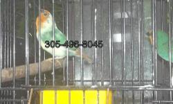 I have a pair of heavy pied seagreen parrotfinches for sale.They are beutifull and in perfect condition.If intrested please let me know.Shipping available via usps or airline.please visit www.facebook.com/jungle.miracles twitter @junglemiracles