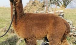 To get prepared for Spring babies we are offering quite a few alpacas in the $500 range! This is a HUGE discount on our standing prices, so hurry up and get a couple before they're sold! *We will provide transport for a price. *We will be able to help you