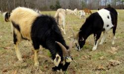High percentage Kiko cross does & bucks for sale from BF Farm. They are 8 months to 1 year old & ready to breed in the Fall of 2015. Just listed pics & stats on our website: http://bffarm.net/goats-for-sale.html. The two 1-year old bucks will be available