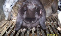 I have some nice 14- week old Holland Lops, both bucks and does. There $ 15.00 each or 2 for $ 25.00. The more you buy the better the price. There's a black/white Lionhead in the trird picture for $ 20.00 and a baby Holland Lop in the last picture for $