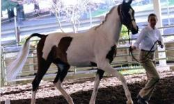 Half Arab/Saddlebred Pinto, Available to sponsor/lease up to 3 days a week. Beautiful Bay and white tobiano. 16.2HH 5 y/o gelding Easy going, sound and willing. Excellent ground manners. Ties, cross ties, trailers. Ridden English or Western - tack