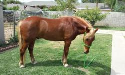 Broke Broke Broke 6 year old Mustang gelding 14 hh, neck reins, flying lead changes, spins, short slide stop, teeth done 4/23/14 wormed 4/25/14 front shoes 4/26/14 Ally was gathered from Silver King, Nevada. asking $3000 payments considered if boarded at