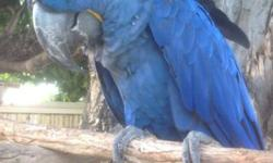 """Wonderfully sweet hyacinth macaw.. Loves people, especially kids. Large vocabulary. Perfect plumage. 14 years old. Downsizing my """"collection"""". Will make someone a wonderful addition to the family Call or email with any questions."""
