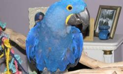 Hyacinth Macaw For Sale : Hi, I am a 7 year old Hyacinth Macaw. Let me tell you a little about myself. I was hatched on 08-06-2005 and hand fed in New Jersey. I like to play but even better for me is I love to be held, pet, scratched, hugged and just to