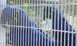 KASHMIR is on her closed leg band. offspring of kashmir's Hyacinth Macaw pair. I think she is 18 years old or close to that age. A sweetheart of a Hyacinth. I've had her since 2005. Dudley is in the stud book. the male is eighteen years old. 561-594-7007