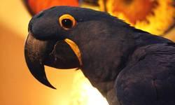 Hello ! I have a Hyacinth Macaw Bonded Pair for sale that never produced. They are microchipped and thought to be in their mid 20's. Originally came from Florida. So.. here is the catch, these parrots are to be purchased for pet purposes only (no