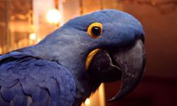Pair of Hyacinth Macaws (male / female) for sale. Please email me for more information. I am located in Upstate NY and no, this is NOT a scam. Thank you !