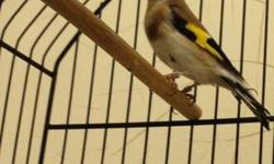A male of hybrid finch Siberian male across Himalayan female one year old am asking for rehome $150 you must seen it call Nicolas @(619) 997-52 93.hablo español thanks:-) This ad was posted with the eBay Classifieds mobile app.
