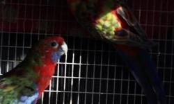 I have 1 pair of crimson orange Adelaide roselas 3 years old for sale or trade for grass parakeets very big and beautiful please call 310-844-5287 thankyou
