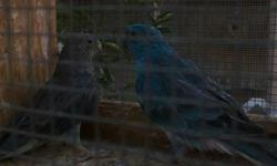 a pair of blue mealy pale haede roselas for sale or can trade male is 2010 leg band female is 18 monht dna proof card calls only please tankyuo.