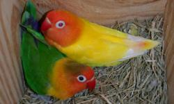 i looking to buy pair fisher love birds let me know what you have i paid 150 each pair