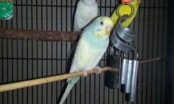 I'm wanting to trade my Young cockatiel for some parakeets if anyone can help me with that please contact me thank you