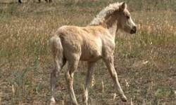 Icelandic Filly with top blood lines, and extremely rare chestnut roan color (only 5 Icelandic roans in the US) 5 gaited, DNA tested, microchipped, USIHC and WF registered. Will make a great leisure horse as well as brood mare some day. Healthy and strong