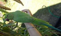 Hand fed Baby Indian ring neck parrot, Gender is unknown it tame. about 5 months old, Mom is grey Indian ring neck. dad is green African ring neck. Asking $150 for the parrot