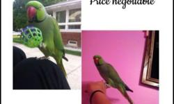 Baby Green and Blue Indian Ringnecks currently being hand fed. We are accepting 50% deposits to hold until fully weaned. NO TEXTS OR EMAILS AJ'S Feathered Friends Pet Shop 804 N La Fox st South Elgin 60177 804-695-5624