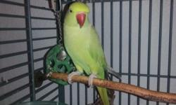 Young Indian Ring Neck parrot for sale. Cage,toys,food,etc. All included. Her name is kiwi. She is still hand shy but working on that. She loves to whistle for the dog and tries to get his attention. She is a beautiful bird and I hate to lose her but I