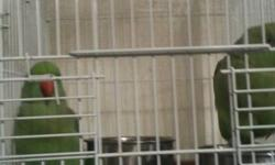 HEALTHY FEMALE INDIAN RINGNECK 4SALE PLEASE CALL ROMANO'S PET 407-340-7841 THANKS.
