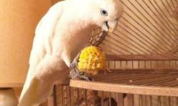 6 mth old albino indian ringneck . semi tame , no cage dna papers