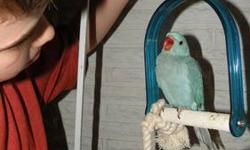 Indian Ringneck babies available to experienced hand feeders. They are only about two weeks old. I expect the baby color should be turquoise. Color of the parents are turquoise and cremino. Local pick up only.