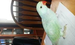 I have several Indian ringneck babies available. I have olive greens start @ 210, Lutino, Albino,turquise blue lacewings 275-300. Please call to buy or reserve your baby today. Will SHIP add 150. for shipping with crate. 262-729-1668 Thanks