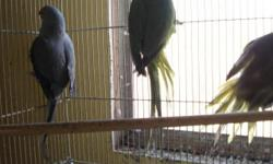 For Sale Indian Ringneck Breeders. One year old birds. Colors: Green, Grey, Olive.